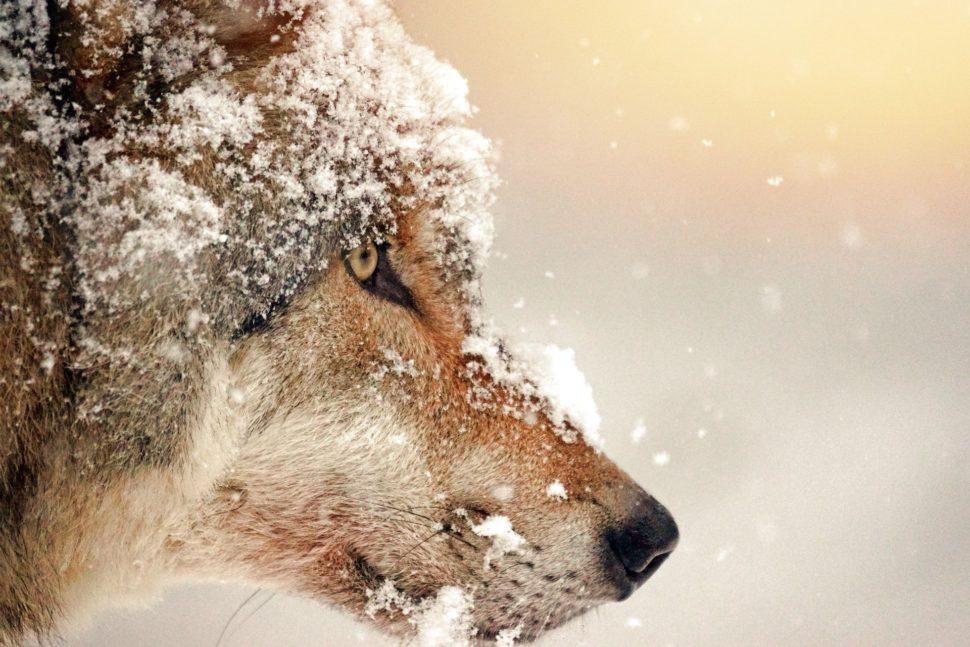 Vlk symbol paralelních pohádek